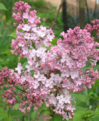 Pink Lilac in Wolverine, Michigan