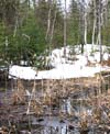 Last autumn's cattails in swamp; snow is melting.