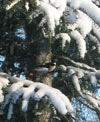 Chicadee in the snow -- winter has arrived!
