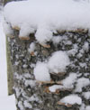 Snowy stump with fungus