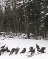 Flock of wild turkeys scratching for something to eat.
